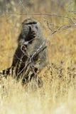 Baboon. S in the natural habitat. Africa. Kenya royalty free stock photos