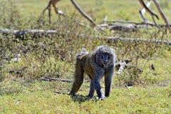 Baboon Royalty Free Stock Image