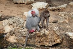 Baboon with baby Royalty Free Stock Photography