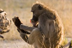 Baboon with baby. In Moremi Game Reserve Botswana royalty free stock images