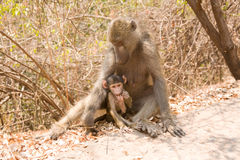 Baboon with baby. Portrait of mother baboon with cute baby outdoors stock photos