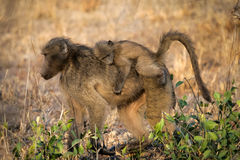 Baboon with baby. A female Chacma Baboon with baby on her back Stock Image