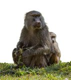 Baboon with a baby. On green grass isolated Royalty Free Stock Photo