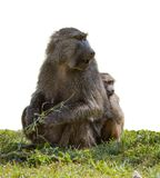 Baboon with a baby. On green grass isolated Royalty Free Stock Photography