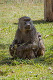 Baboon with a baby. On green grass. Photo taken during the safari in Manyara Lake National Park. Tanzania Stock Photos