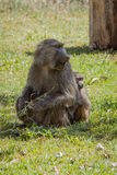 Baboon with a baby. On green grass. Photo taken during the safari in Manyara Lake National Park. Tanzania Stock Photo