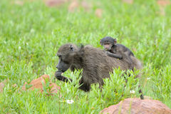 Baboon with baby. In the Marakele National Park, South Africa royalty free stock photos