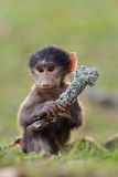 Baboon Royalty Free Stock Photography