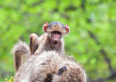 Baboon baby riding on mother Stock Photography
