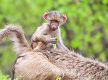 Baboon baby riding on mother Stock Images
