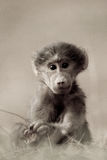 Baboon Baby royalty free stock photography
