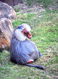 Baboon Bahavior. Baboon sits on the grass in enclosure and shows his teeth and fangs stock photo