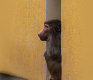 Baboon betwixt the walls Stock Images