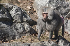 A baboon blends into its environment. A baboon walking towards camera stock photography