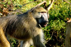 Baboon in Botswana, Africa Stock Photos
