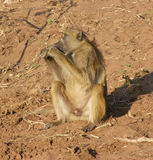 Baboon in Botswana Royalty Free Stock Photography