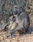 Baboon breastfeeding Royalty Free Stock Photos