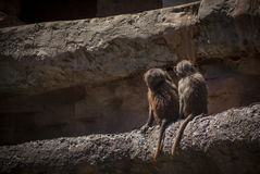 Baboon Brothers. Two infant baboons watch the adults play further up the mountain stock photos
