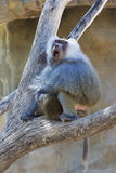 Baboon calls loudly Royalty Free Stock Images