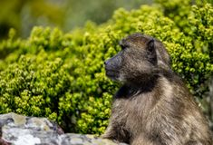 Face of baboon. Baboon at Cape of Good Hope inspecting the passing tourists stock images