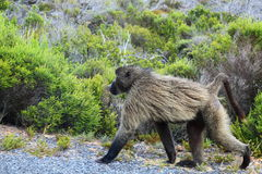 Baboon at Cape of Good Hope. A baboon in the natural reserve of Cape of Good Hope, South Africa stock photography