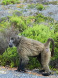 Baboon at Cape of Good Hope Stock Images