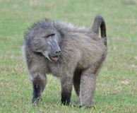Baboon at cape point, south africa Royalty Free Stock Images