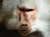 Baboon in captivity Royalty Free Stock Image