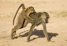 Baboon carrying baby. Stock Image