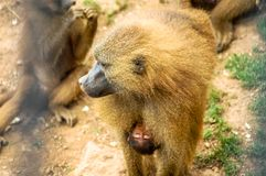 Baboon at London Zoo stock photography