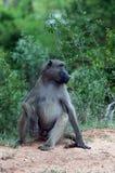 Baboon Chacma, εθνικό πάρκο Kruger στοκ φωτογραφία με δικαίωμα ελεύθερης χρήσης