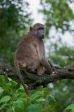 baboon chacma κλάδων Στοκ Φωτογραφίες