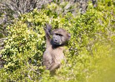 Baboon Chacma που στέκεται στα fynbos στοκ εικόνα