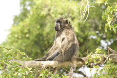 Baboon Chacma στην καρδιά της σαβάνας, εθνικό πάρκο Kruger, ΝΟΤΙΑ ΑΦΡΙΚΉ Στοκ Φωτογραφία