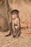 Baboon, chacma. Large primate with U-shaped tail; coat colour vary from dark grey to grey-brown; males significantly larger and powerfully built than females Stock Photos