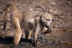 Baboon Chacma (ursinus Papio) Στοκ Φωτογραφίες
