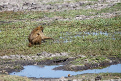 Baboon in Chobe N.P. Botswana, Africa Royalty Free Stock Photos