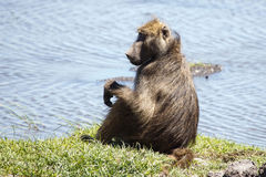 Baboon - Chobe River, Botswana, Africa. Baboon in Chobe River, Chobe National Park, Botswana, Africa Royalty Free Stock Photos