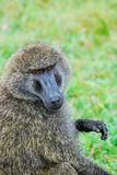 Baboon looking at the camera. A close up of a baboon stock photos