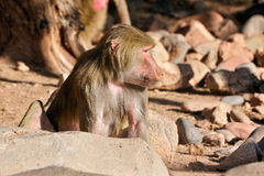 Baboon close up Stock Image