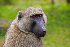 Baboon close-up Stock Images
