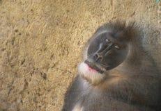 Baboon close-up Stock Image