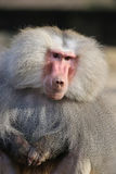 Baboon closeup. Close up from a baboon stock photo