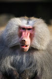 Baboon closeup. Close up from a baboon royalty free stock photo