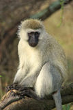 Baboon. Colobus monkey in National Park, Tanzania Stock Image
