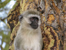 Baboon. Colobus monkey in National Park, Tanzania Royalty Free Stock Photography