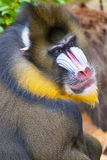Baboon and colored face Stock Photo