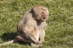Baboon communicating Stock Photography
