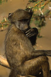 Baboon Contemplating Life Royalty Free Stock Image