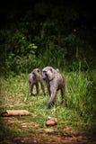 Baboon Couple. A couple of baboons near Merchison Falls, Uganda Stock Images
